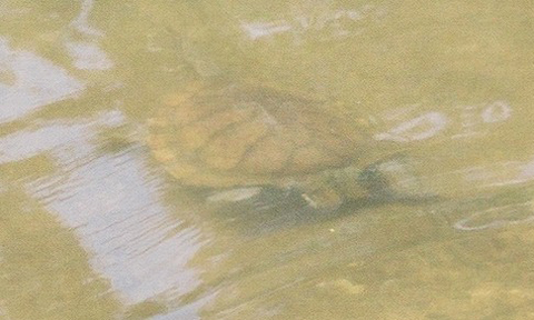 Eastern Snake Necked Tortoise