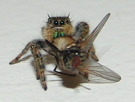 spider-eating-fly1