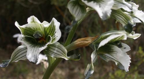 Orquidea blanca B