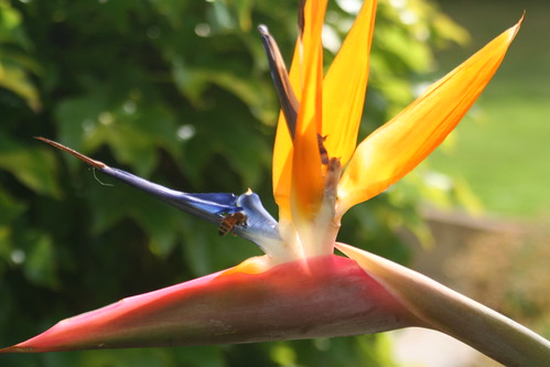 Bird of Paradise Flower (Strelitzia regiane)