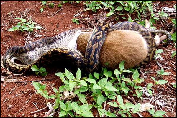 Snake Swallowing Kangaroo 6