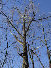 view of balm-of-Gilead tree
