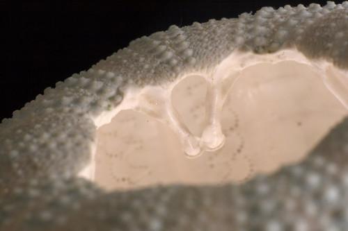 Sea Urchin Shell (up close)
