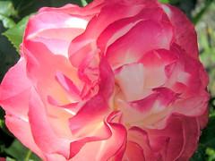 Rose photo by meikros