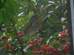 Robin at the sitting room window