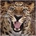 Amur Leopard [2]