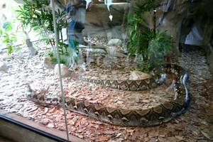 A large python