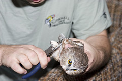 Banding the Owl