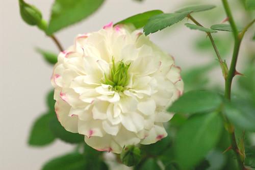 バラ・グリーンアイス(ミニバラ鉢)