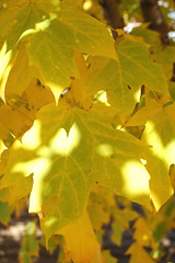 Fall color Maple 3