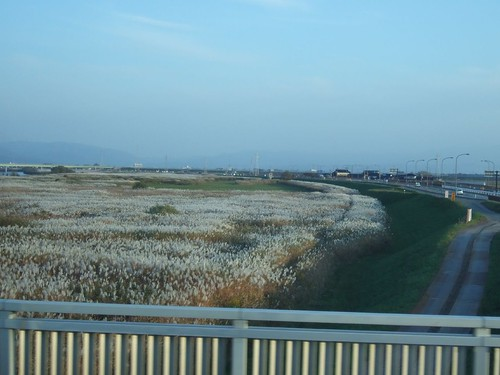 白鳥飛來地附近的葦蘆