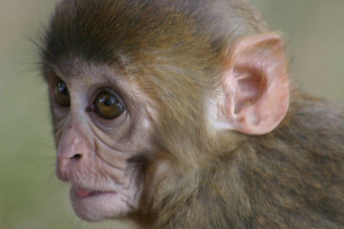 Baby monkey. Swayambunath - Kathmandu