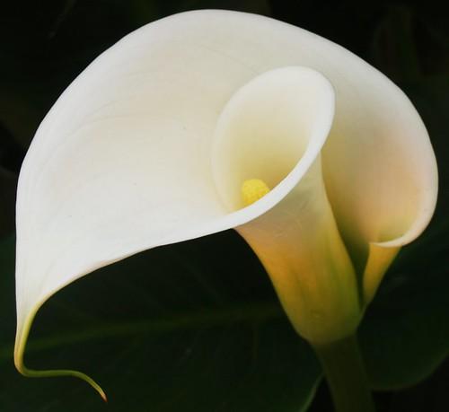 Flor de alcatras - Imagui