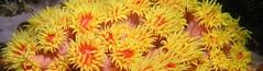 太陽花珊瑚