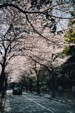 アークヒルズの桜01