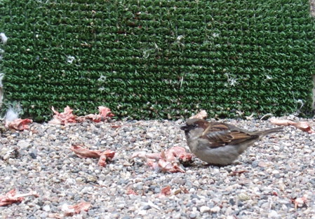 sparrowmeat.jpg