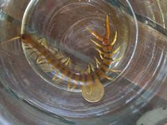Huge Centipede (Aussie Dollar coin)