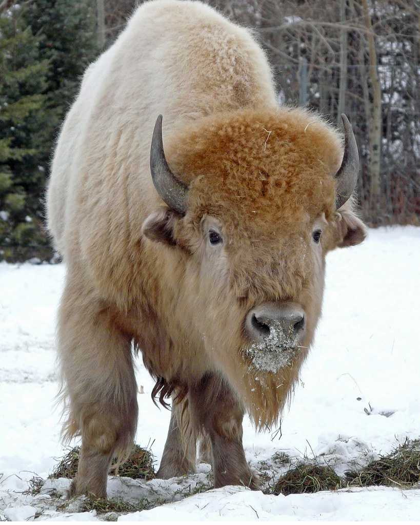 White Buffalo (Bison) photo by njchow82