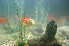 Goldfish #7