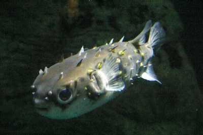 fugu en el acuario de tokio