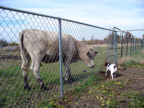 2006-10-30 - Dogs-n-Cows-0049