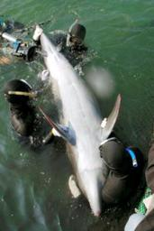 fourfinneddolphin