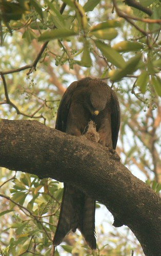 IMG_0341Black Kite with Nesting Material (2)
