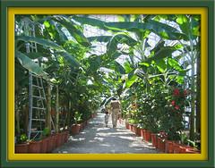 ナハバナナ園