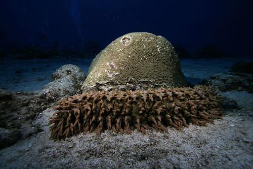 《梅花參》的泄殖腔常有隱魚共生