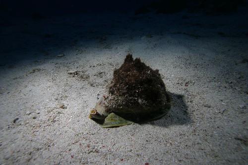 《唐冠螺》跟所有的物種一樣,被貪婪的人類濫捕,數量銳減