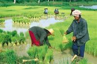 chiangmai ricefield