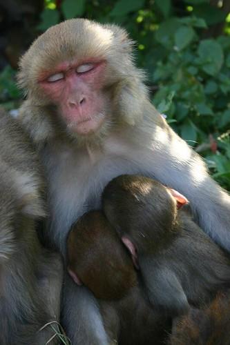 Monkey mother. Swayambunath - Kathmandu