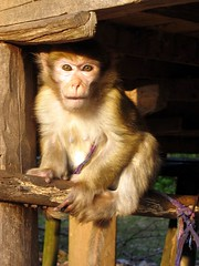 Pet monkey in Nalan Tai Khmu Village - Nam Ha River