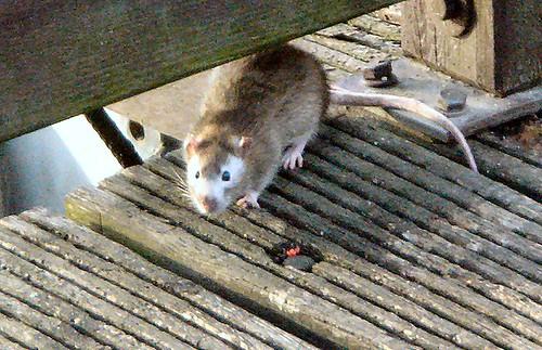 Maskierte Ratte