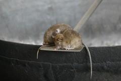 rodentsInKitchen