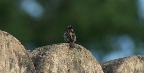 IMG_0223 House Sparrow...a rare bird in Bangalore