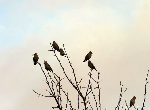 7 Bohemian Waxwings (by Steffe)