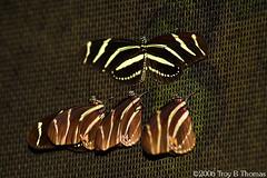 20061125_FourButterflies