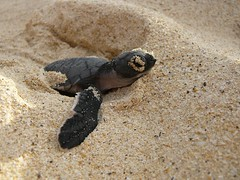 Baby Turtle Heads for the Sea