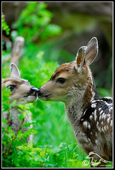 Sibling Affection (deer-fawn_DSE3477.jpg) photo by Larsthrows