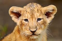 Portrait of a lion cub photo by Tambako the Jaguar