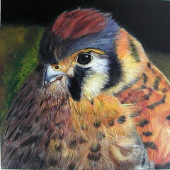 Acrylic Painting of an American Kestrel photo by GaryKurtz