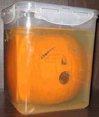 Pumpkin Specimen