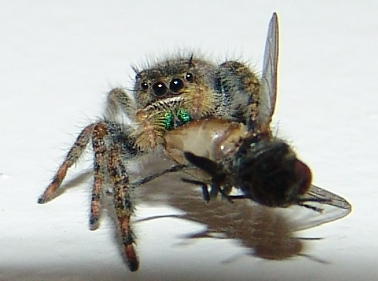 spider-eating-fly2