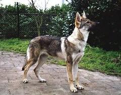 Tsjechoslowaakse wolfhond is een heel bijzonder ras