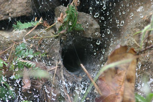 IMG_0090 wolf spider's nest and the raindrops