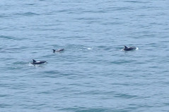 The Dolphins Of Coromandel