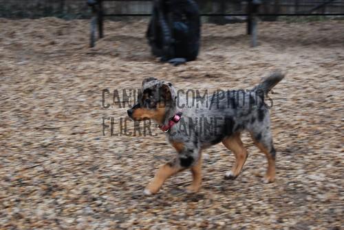blue heeler cattle dog mix