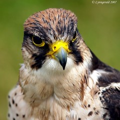 Laner Falcon (Male) photo by Lynngerald