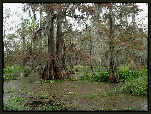 Lousiana Swamp